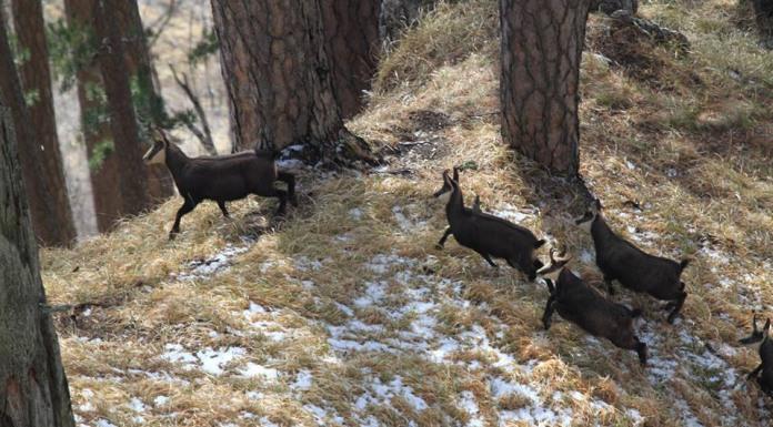Pojačanom kontrolom lova sačuvati srnu i divokozu